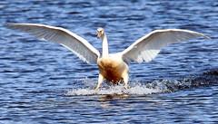 majestic landing (roland_tempels) Tags: supershot swan water kieldrecht grootrietveld birds nature