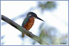Martin-pêcheur 181017-01-P (paul.vetter) Tags: oiseau ornithologie ornithology faune animal bird martinpêcheur alcedoatthis eisvogel kingfisher