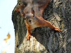 Oops.... (libra1054) Tags: squirrel eichhörnchen ardilla êcureuil scoiattolo esquirol esquilo animals animales animali animaux animais closeup nature natura natur