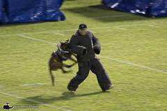 0W3A8361_v1web (PhantomPhan1974 Photography) Tags: ocpca ocpca30thanniversaryk9show gloverstadium anahiem k9 police sheriff canine lawenforcement