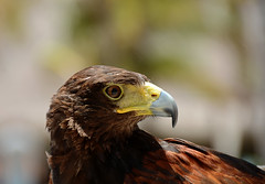 Rescued2_237 (Lynn - Starting Over Again) Tags: falcon bird birdsofprey mexico closeup portrait bokeh free