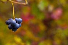 Magic Autumn (MC_photopics) Tags: grapes langhe uva barolo novello