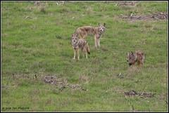 Tres Amigos 6243 (maguire33@verizon.net) Tags: pointreyesnationalseashore coyote wildlife
