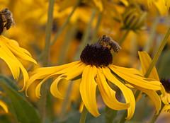 due meglio che una... (Giorgio___) Tags: alpi austria ape api polline fiore blume blumen fiori giallo natura forfree aggratis gratis bokeh