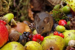 wild house mouse with wild picked fruits nuts and berries Autumn display (7) (Simon Dell Photography) Tags: mouse nature wildife wild free garden mice animal rodent cute funny seasonal autumn fall season winter colors pumpkin conkers horse chestnut fruits berries bounty log pile george house halloween fright night 13th friday fun simon dell photography sheffield s12 hackenthorpe