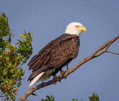 Posing in the Eagle Tree (tresed47) Tags: 2018 201809sep 20180919bombayhookbirds birds bombayhook canon7d content delaware folder peterscamera places season september summer takenby us