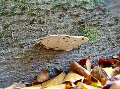 Bracket Fungus, Blaen Bran, Upper Cwmbran 28 September 2018 (Cold War Warrior) Tags: bracket fungus fungi cwmbran blaenbran