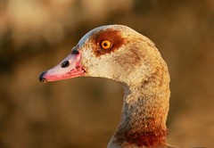 Egyptian goose (PhotoLoonie) Tags: goose duck egyptiangoose bird waterbird wildlife nature