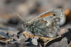 Small Heath butterfly (Tim Melling) Tags: coenonympha pamphilus small heath butterfly peak district moors west yorkshire timmelling