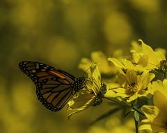 MonarchButterfly_SAF9830-1 (sara97) Tags: danausplexippus butterfly copyright©2018saraannefinke insect missouri monarch monarchbutterfly nature photobysaraannefinke pollinator saintlouis towergrovepark urbanpark