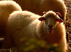 Halbstarkes Schaf (Renata1109) Tags: schaf natur outdoor tier herbst augen mund zunge