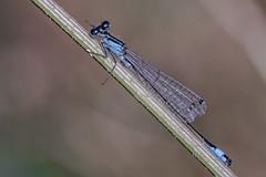 DSCF1096 makro 2018 (зоок) Tags: fujixt20 nikonedafmicronikkor200mm14d macro nature priroda serbia srbija damselflies odonata insect