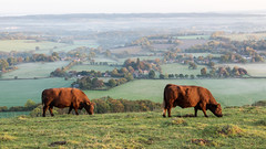 Perspective (THE NUTTY PHOTOGRAPHER) Tags: southdowns cattle beaconhill southdownsway westsussex chichester eastharting hartings