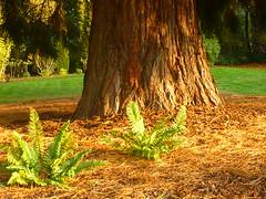 Farn & Mammutbaum (Jörg Paul Kaspari) Tags: parkgarten herbst autumn fall metasequoia mammutbaum farn fern polystichum munitum polystichummunitum kalifornischer schwertfarn