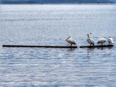 4 Pelicans Resting (Robert Cowlishaw (Mertonian)) Tags: pelicans four resting strawberry mertonian robertcowlishaw canon powershot sx60hs canonpowershotsx60hs birds relaxing abirdslife lake ripples