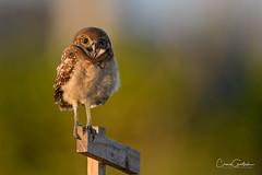 EEEeek!  A pesky photographer! (craig goettsch) Tags: burrowingowls capecoral avian animals nature wildlife owl nikon d850