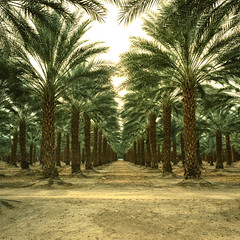 date palms (xpro). mecca, ca. 2018. (eyetwist) Tags: eyetwistkevinballuff eyetwist mecca palms palmtrees vanishingpoint infinite california desert saltonsea mamiya 6mf 50mm kodak ektachrome epx 64 64x xpro crossprocess mamiya6mf mamiya50mmf4l kodakektachrome64 plantation rows order ca111 ishootfilm analog analogue film mamiya6 square 6x6 mediumformat 120 cross process expired filmexif iconla epsonv750pro lenstagger ishootkodak sonorandesert dry bleak landscape roadsideamerica salton sea sand palm trees fronds american west date farm ranch vanishing point perspective geometric fruit harvest palmsprings 111 row thermal coachella agriculture