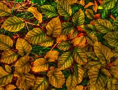 Golden Leaves (Billy McDonald) Tags: hdr goldenleaves autumn glasgow springburnpark springburn samsunggalaxys9 colours