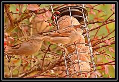 """Seedcracker..."" (NikonShutterBug1) Tags: nikond7100 tamron18400mm birds ornithology wildlife nature spe smartphotoeditor birdfeedingstation bokeh birdsfeeding sparrow wings"
