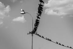commander-in-chief (Özgür Gürgey) Tags: 2013 50mm bw büyükada d7100 nikon birds clouds minimal pigeon pole seagull sky wire istanbul humor