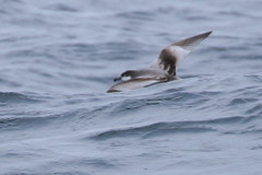 Buller's Shearwater, ~25 m. offshore, Lincoln Co., OR_5084(2) (Patterns and Light) Tags: 2018 oregon puffinusbulleri puffinus bulleri