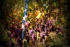 Domaine Wunsch et Mann (VinéoNews Alsace) Tags: routesdesvins alsace journal magazine vinéonewsalsace vin viticulture rouffach carnetsdevendanges domainewunschetmann