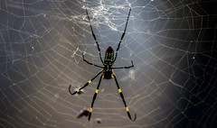 CenteredSpidey (mehtab94) Tags: nature spider spiders summer fall wildlife natgeo scary halloween insect web cobweb colors garden