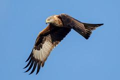 Red Kite (Simon Stobart - Back But Way Behind) Tags: red kite milvus flying north england uk