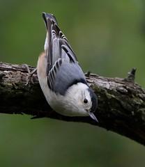 Sittelle à poitrine blanche (Marie-Helene Levesque) Tags: oiseau abitibi valdor côtede100pieds loft sittelle sittelleàpoitrineblanche mariehélène mariehelene