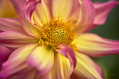 Dahlia Macro (ChristopherLeeHewitt) Tags: macro dahlia dof petals plants pink pollen yellow naturephotography nature bloom blossom bright bokeh blooming flower flora flowers fleur foliage fall autumn natural naturallight