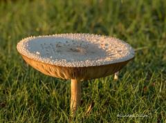 Giant Toadstool (Lindell Dillon) Tags: toadstool mushroom fungi nature oklahoma
