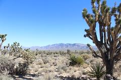 Joshua Tree (stephsantos13) Tags: travel roadtrip westcoast california mountains cactus desert joshuatree jtnp