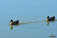 A-LUR_7839 (OrNeSsInA) Tags: aironi airon spatola trasimeno laghi umbria tecana tuscany italy italia natura nature