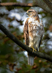 Hawk (RWGrennan) Tags: hawk bird prey raptor nature wild wildlife predator tree sharp wow outdoors rwgrennan rgrennan massachusetts ma lebanon mountain roadside nikon d610 tamron 150600 zoom