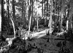 Swamp Scape (Film) (_Lionel_08) Tags: swamp film louisiana stumps cypress trees white water black monochrome morning olympus stylus epic zoom 170mm analog