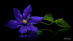 Blue flower (Magda Banach) Tags: canon canon80d sigma150mmf28apomacrodghsm blackbackground blue colors flora flower green macro nature plants