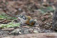 Male Chaffinch (DanD_NZ) Tags: tematapeak newzealand birds nikond500 nikkor200500mmf56 chaffinch