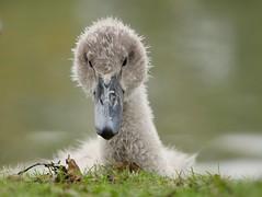 Cygnet (PhotoLoonie) Tags: muteswan swan waterbird bird wildlife nature autumn cygnet britishwildlife