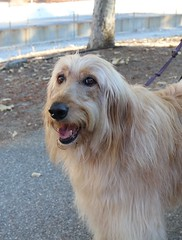 Harley (Webfoot5) Tags: dog dogs dogsonwalks dogzonwalkz goldendoodle