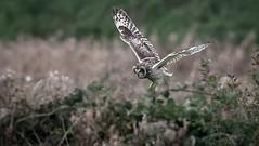 Short-eared Owl (Steve D'Cruze) Tags: short eared owl asio flammeus nikon d500 sigma 150600mm