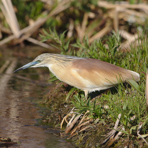 "Squacco Heron, Ardeola ralloides at Marievale Nature Reserve, Gauteng, South Africa. • <a style=""font-size:0.8em;"" href=""http://www.flickr.com/photos/93242958@N00/44482198164/"" target=""_blank"">View on Flickr</a>"