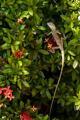 Domaine café grillé 18 10 18-50 (bebopeloula) Tags: photorobertcrosnier faune iledelareunion nikond700 saintpierre agame animaux couleurs extérieur lézard reptiles