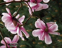 Pink Magnolia (Cornishcarolin. Stupid busy!! xx) Tags: cornwall httpswwwnationaltrustorguktrelissick nature flowers trees magnolia