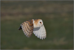 Barn Owl (image 3 of 3) (Full Moon Images) Tags: wildlife nature cambridgeshire fens bird birdofprey flight flying barn owl