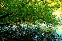 Willow (Jan 130) Tags: jan130 willow leaves autumn2018 plantsbrooklocalnaturereserve suttoncoldfield birmingham englanduk digitalpainting water reflections song joanarmatrading ngc npc coth coth5