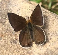 Itylos moza (Birdernaturalist) Tags: bolivia butterfly lepidoptera lycaenidae polyommatinae richhoyer