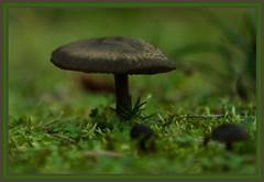 AH62_10465 (der_andyrandy) Tags: pilz pflanze wald wiese fungi mashrom macro makro canoneos7d
