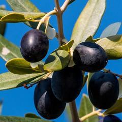 Black Olives - MM. (Different Aspects) Tags: macromondays bfood blackolives tree leaves porec croatia