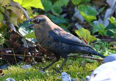 Rusty Blackbird (Male - Non-breeding) (Jewill16) Tags: burnaby lake blackbird leaves grass
