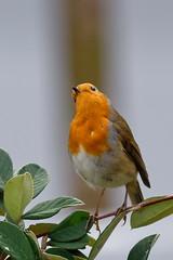 Robin attitude 1 (Elisabeth Lys) Tags: sigma 150600mm robin rougegorge d7200 nikon birds oiseau